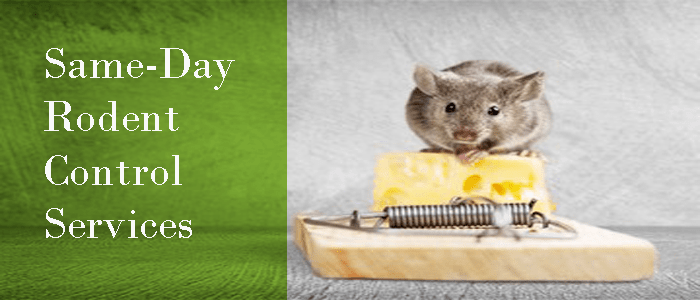 Same-Day Rodent Control Joondalup